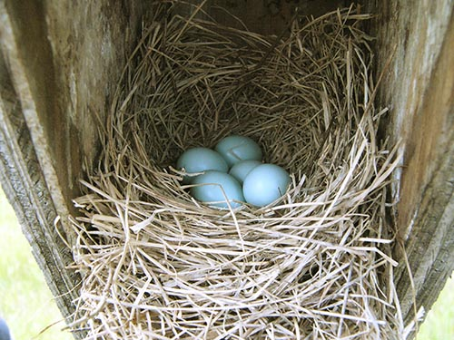 Bluebird nest and eggs